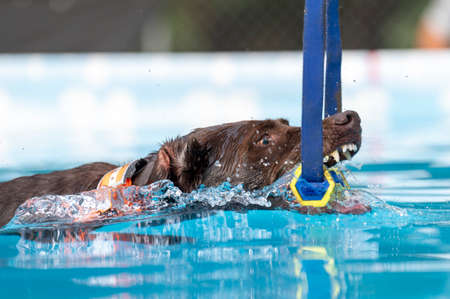 Swimming chocolate Lab in a pool grabbing a toy during a game Stock Photo