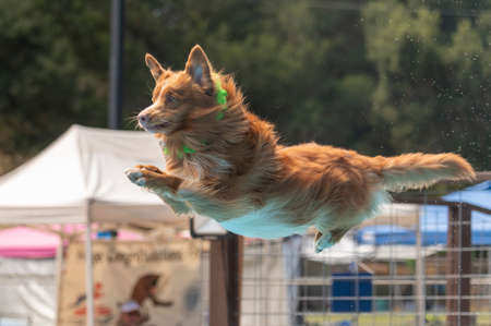 Dock diving dog in mid-air about to land in a pool after jumping off a dock Stock Photo