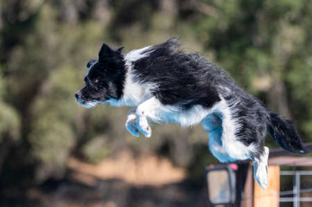 Dog in the air after jumping off a dock ready to land in the pool
