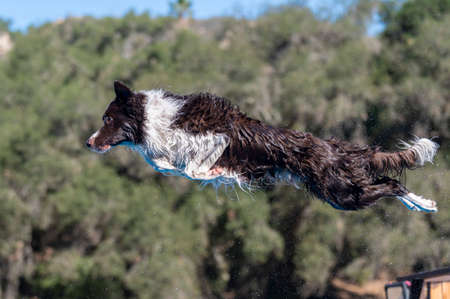 Black and white border collie with water flying off his coat after jumping off a dock Stock Photo