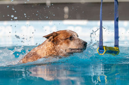 Red cattle dog in a swimming pool about to grab a toy during a game