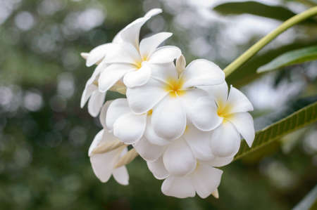 White frangipani and green leaf in sunny day photo