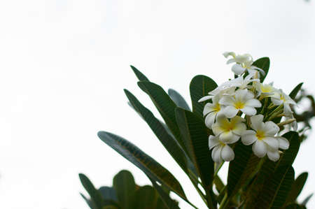 White frangipani in sunny day photo