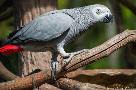 Big parrot african grey red tail photo