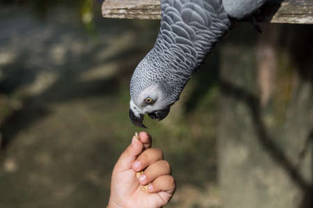 Parrot african grey will be thatting have a meal in the afternoon photo