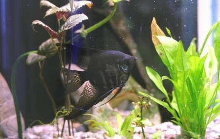 echinodorus: Aquarium Stock Photo