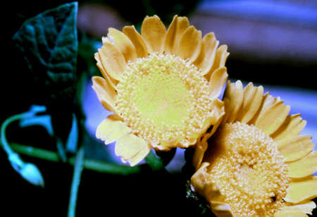 coronarium: CHRYSANTHEMUM flowers