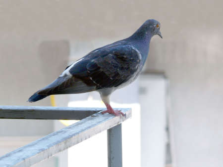 feral: feral rock pigeon Stock Photo