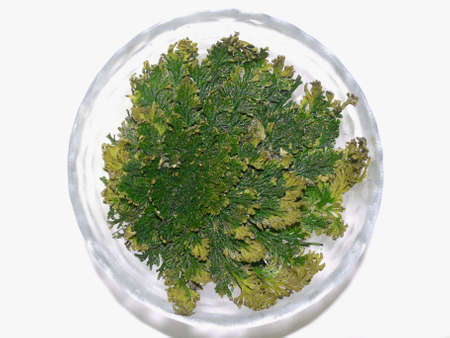 Rose of Jericho spreaded out (Selaginella)