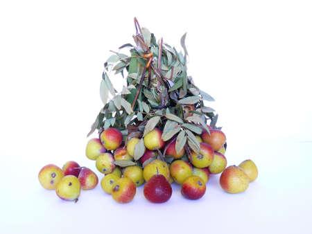 service tree: Bunch of wild service tree fruits (Sorbus subgenus)