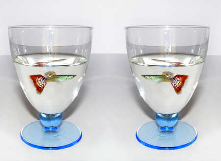 aquarist: Close-up of two glasses of water with glorious guppy swimming in Stock Photo