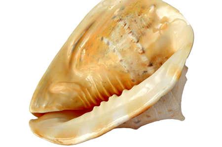Details of a King Elmet shell on white Stock Photo - 4517632