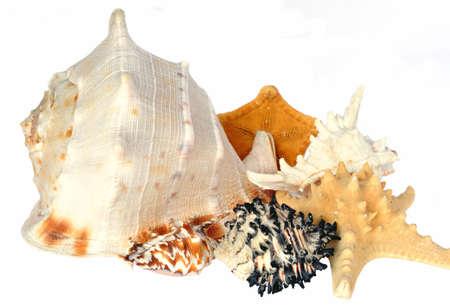 taxonomy: Seashells composition on white background  Stock Photo