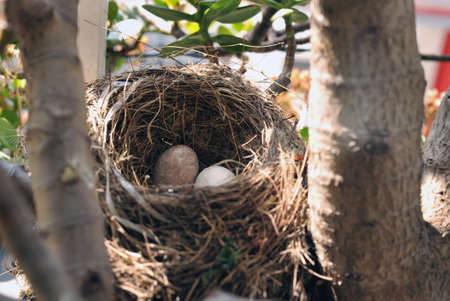 Birds nest with two eggs inside in horizontal Stock Photo