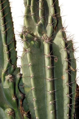 Details of Cereus peruvianus cactus photo