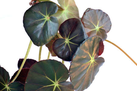 begonia: Detail of Begonia semperflorens leaves isolated on white