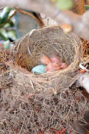 Nest with egg and Turdus merula just born Stock Photo - 4894985