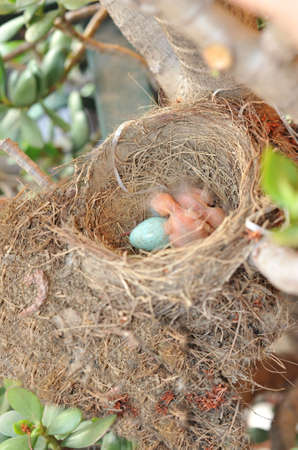 Nest with egg and Blackbirds just born