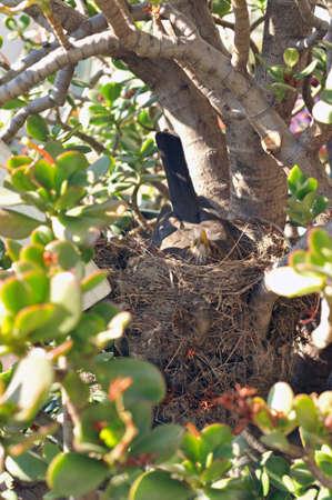 Female of Blackbird in her nest  Stock Photo