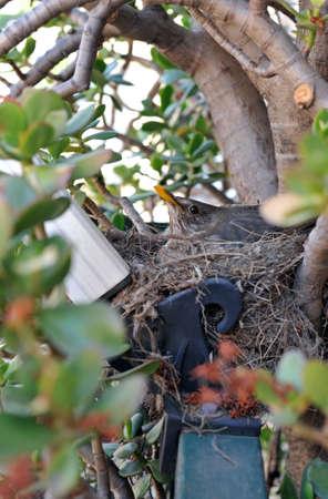 Female of Turdus merula in her nest  Stock Photo