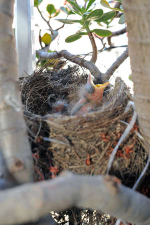 incubate: Nest with Blackbirds chicks waiting for the feed