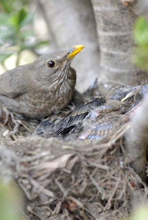 Female of Blackbird setting her offspring photo