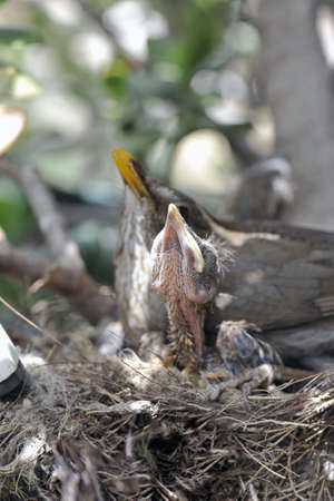 Mum and sons of blackbird in the nest (focus on the chick) photo