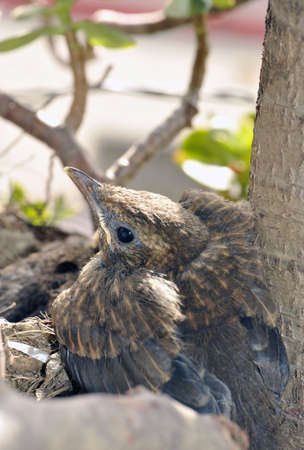Lat young blackbird in the nest ready to fly Stock Photo - 4987933