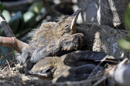 Nest with three young blackbirds sleeping inside Stock Photo