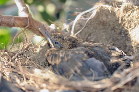The last blackbird of a brood to leave the nest Stock Photo - 4987932