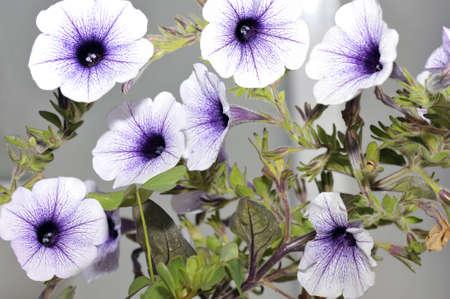 convolvulus: Branches of white Convolvulus species flowers  Stock Photo