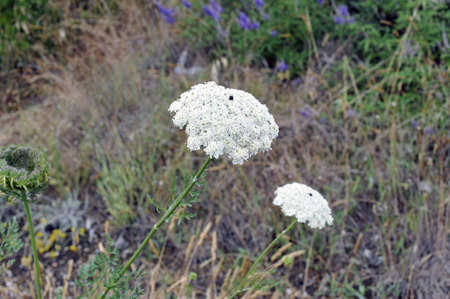 airiness: Close-up of Daucus (Apiaceae) inflorescence in an uncultivated field