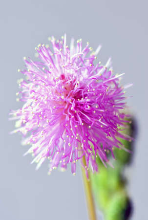 inflorescence: Beautiful little isolated Mimosa pudica inflorescence