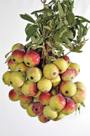 service tree: Autumn time: Hanging bunch of Service Tree fruits (Sorbus subgenus)