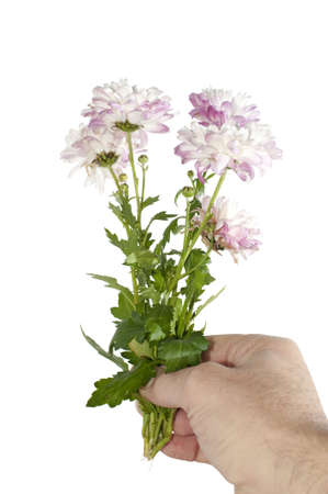 Man hand holding or giving a bunch of flowers (Chrysanthemum) in vertical photo