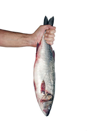 Hand holding and showing a big fresh fish (Mullet), isolated over white photo