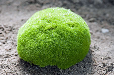 clod: Close-up of a little fresh moss-covered clod