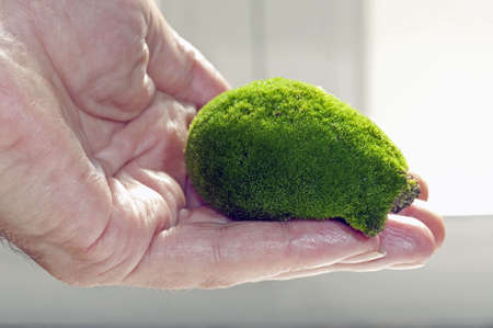 clod: Hand holding a moos-covered clod in a greenhouse  Stock Photo