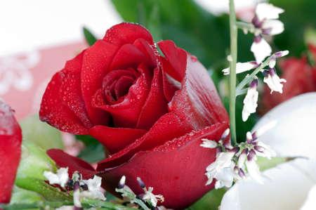 Colpo di macro di un bocciolo di rosa rossa  Archivio Fotografico - 6924549