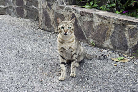 effusion: A cute wild grey cat posing in the street