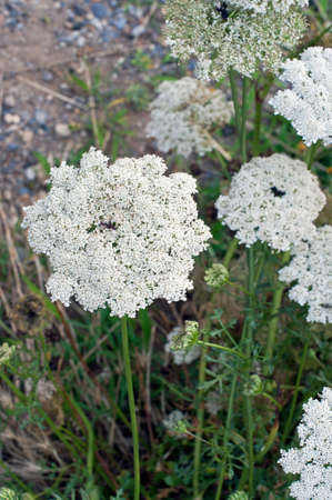 uncultivated: Close-up of Daucus (Apiaceae) inflorescence in an uncultivated field