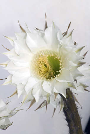 cereus: Closeup of a white flowers of Echinopsis grandiflorus (hedgehog cacti) Stock Photo