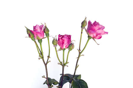 Three pink roses with buds isolated on white photo