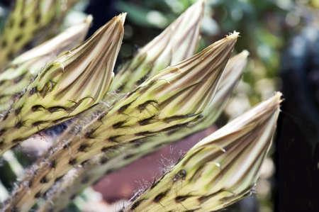 Buds flowers of Echinopsis grandiflorus (hedgehog cacti) photo