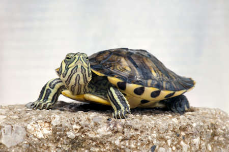 Close-up of a small Red-eared slider (Trachemys scripta elegans)