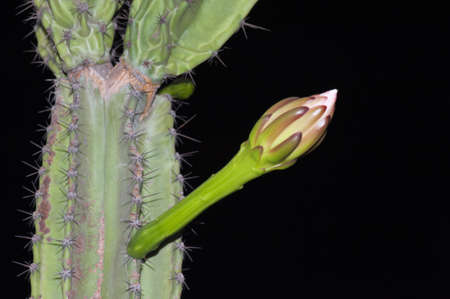 A nighblooming Cereus peruvianus cactus plant photo