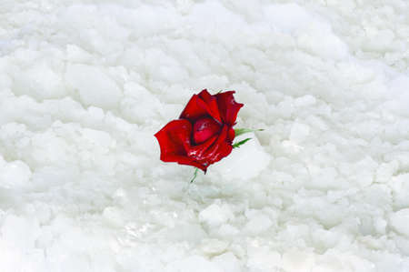 snow break: Abstract scene: a red rose bud in the snow