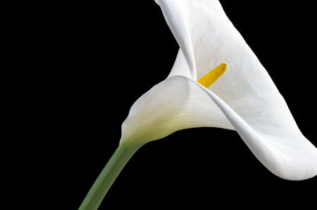 Close-up of a white Zantedeschia aethiopica  flower photo