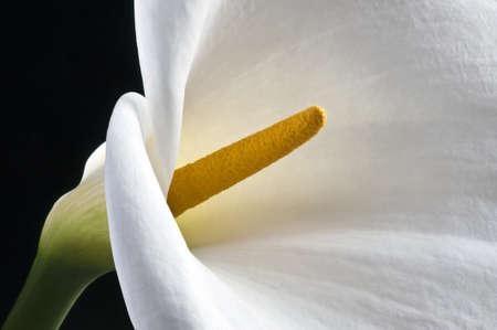 Macro of an isolated white Zantedeschia aethiopica flower Stock Photo - 14050987