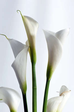 Closeup of white Zantedeschia aethiopica flower isolated on white photo